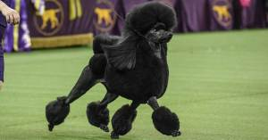 poodle-westminster-dog-show-wins-today-main-200211_23c4dd90d03744dfa8855f40b2498dff.social_share_1200x630_center